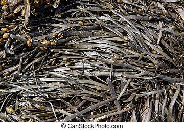 Sea algae background. Atlantic Ocean seaweed