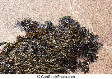 Seaweed on beach side. Atlantic ocean algae