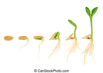 Sequence of pumpkin plant growing isolated, evolution concept