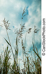 Silhouettes of stems of drying herbs in hot summer