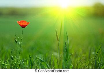 single poppy in fresh meadow with warm spring sunlight