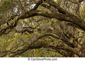 Spanish Moss and Live Oak Tunnel