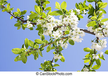 Spring Plum or Cherry leaves and blossom