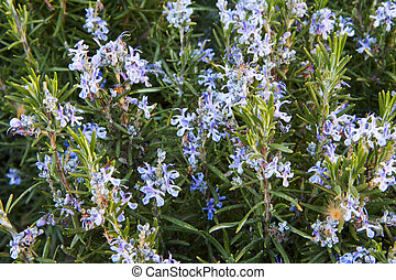 spring rosemary flowering branches in full bloom