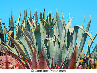 Succulent agave and aloe vera plants