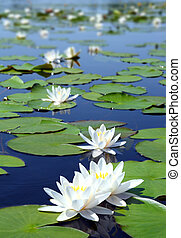 summer lake with water-lily flowers on blue water
