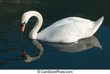 Swan Reflections