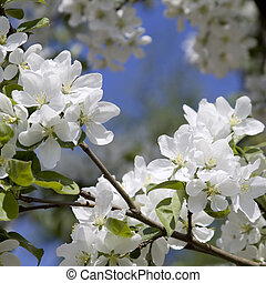 The apple-tree blossoms