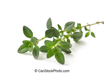 Fresh-picked thyme sprig, isolated on white.