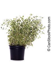 thyme herb plant pot studio cutout