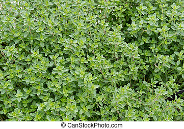Thyme plants ready for harvest