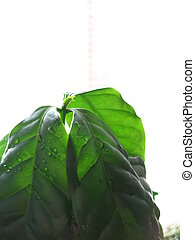 Top of the Home plant Coffee with water drops on the leaves on the light background. Botanical photography for illustration of Coffee