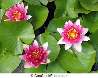 3 pink lotus flowers in bloom