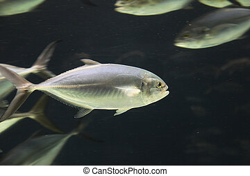 Tropical Fish With School In Tank
