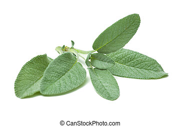 Twig of sage on a white background