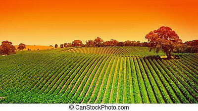Sunrise over vineyard in the Adelaide Hills