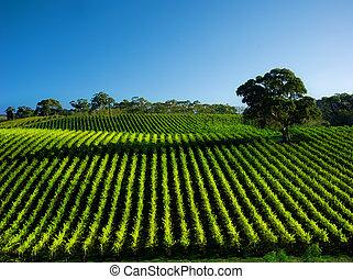 Beautiful Vineyard Landscape with large gum tree