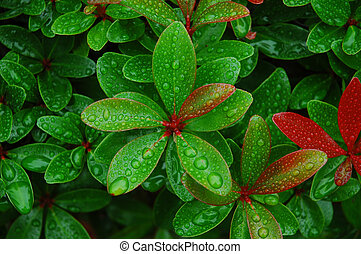Rain droplets on fresh green and red leaves