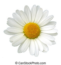 White daisy isolated over white