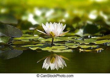 White waterlily in nature pond. Flowers image