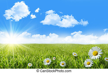 Wild daisies in the grass with a blue sky