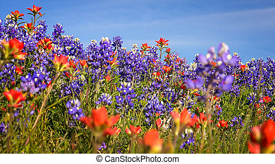 Wildflowers in Texas Hill Country - bluebonnet and indian paintbrush