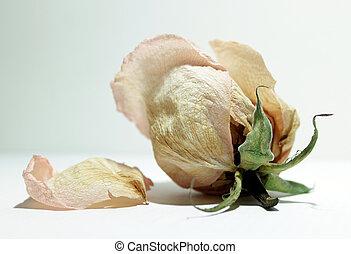 wilted rosebud