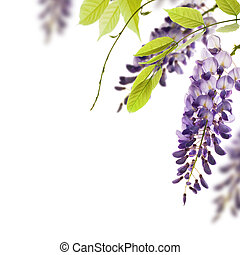 wisteria flowers, green leaves border for an angle of page over a white background. decorative element