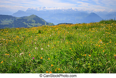 Yellow Buttercup Wildflowers in meadow with blurred background of Panoramic Landscape View of mountain ranges from Rigi Kulm viewpoint, Lucerne, Switzerland, Europe.